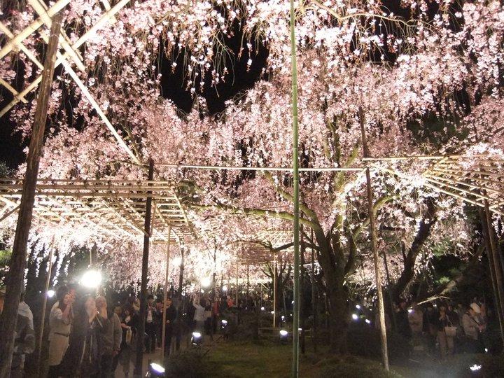Faimosii ciresi infloriti ai JaponieiFaimosii ciresi infloriti ai Japoniei