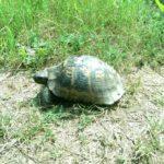 Broasca testoasa de dobrogea in Rezervatia de la Hagieni